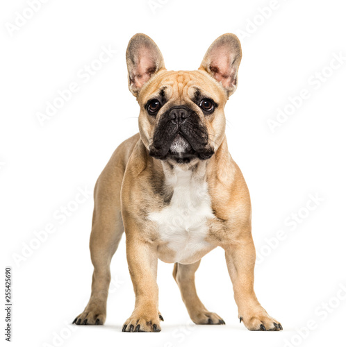 Foto op Canvas Franse bulldog French Bulldog, 6 months old, in front of white background