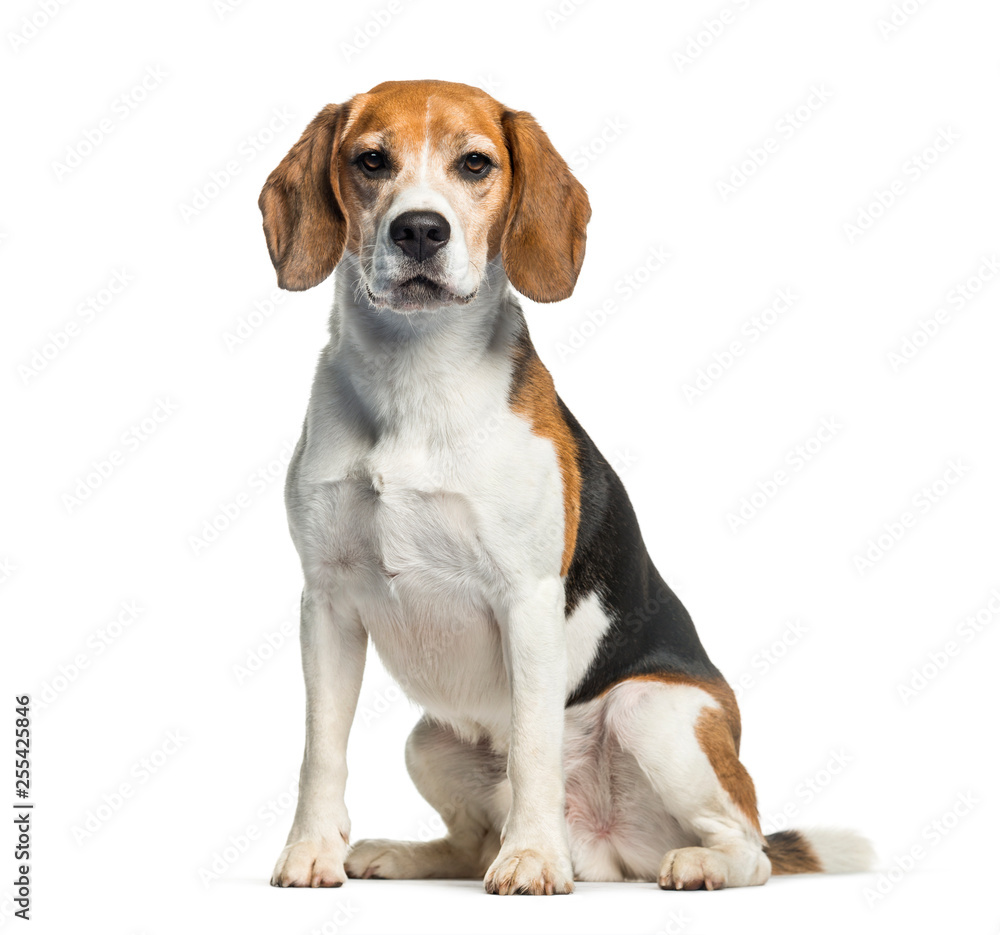 Fototapety, obrazy: Beagle sitting in front of white background
