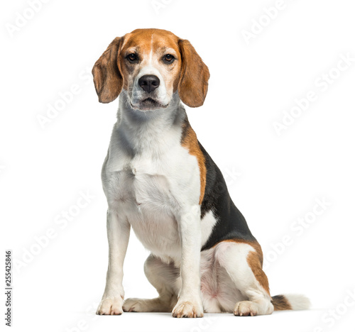 Beagle sitting in front of white background Canvas Print