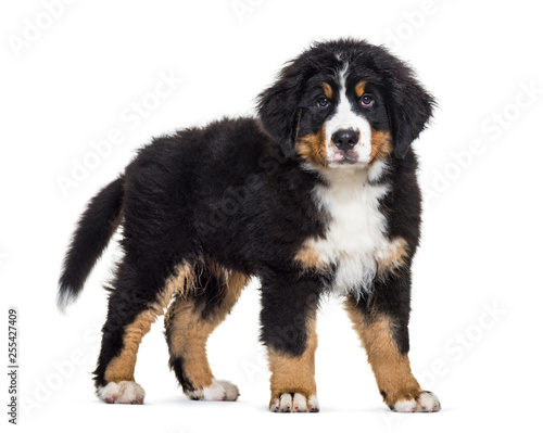 Poster de jardin Vache Bernese Mountain Dog, 3 months old, in front of white background
