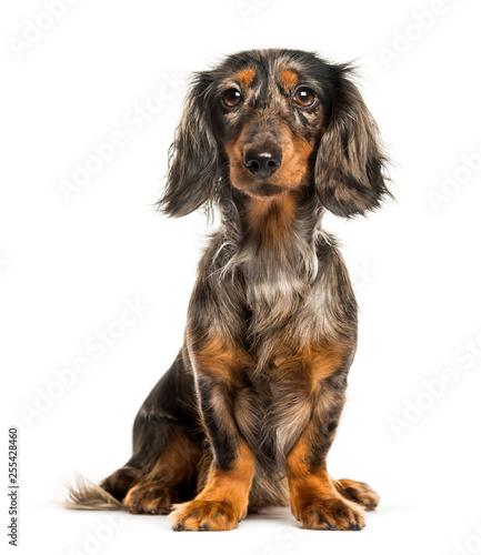 Obraz Dachshund, Sausage dog sitting in front of white background - fototapety do salonu