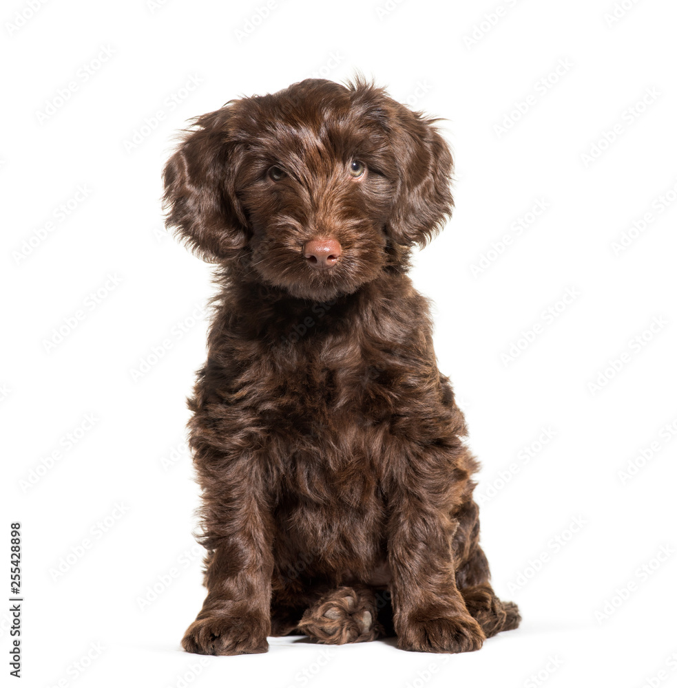 Fototapety, obrazy: Australian Labradoodle, 2 months old, sitting in front of white