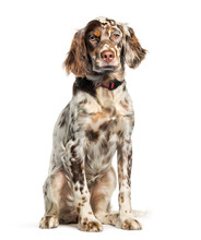English Setter, 6 Months Old, ...