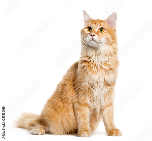 Maine Coon, 8 months old, sitting in front of white background Wallpaper Mural