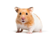 Golden Hamster In Front Of White Background