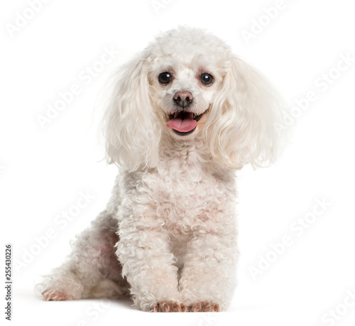 Photographie Tea cup Poodle sitting in front of white background