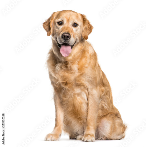 Golden Retriever sitting in front of white background Wallpaper Mural