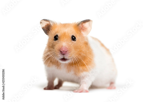 Photo  Golden Hamster in front of white background