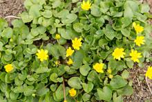 Bees Pollinate Yellow Spring Flower. Primroses In The Garden. Yellow Spring Flower Lesser Celandine Ranunculus Ficaria