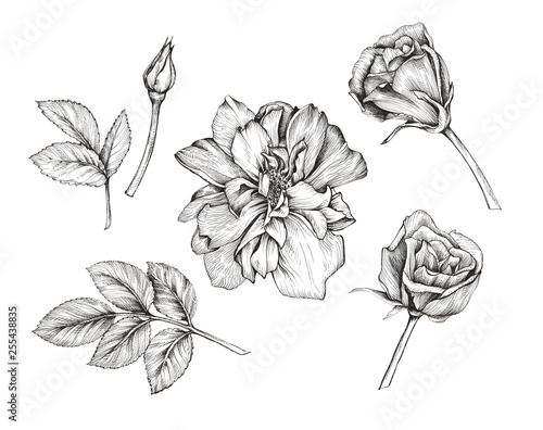 Botanical graphic illustration of the elements of a rose. Handmade pen and ink. Wall mural