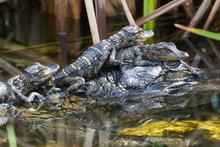 Wild Baby Alligators Staying W...