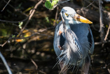 A Wild Great Blue Heron In Everglades National Park (Florida).