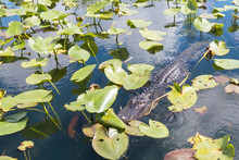 A Wild Alligator Swimming In The Waters Of Everglades National Park (Florida).