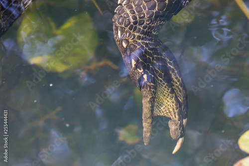 Photo  A wild alligator swimming in the waters of Everglades National Park (Florida)