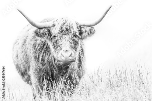 Fotografie, Obraz Highland Cows,  high key