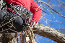 An Arborist In A Tree Secures ...
