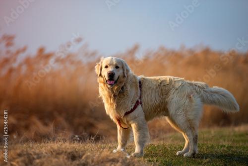 Foto  Beautifull portrait of an golden retriever