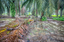 Scene Of Palm Oil Farm After H...
