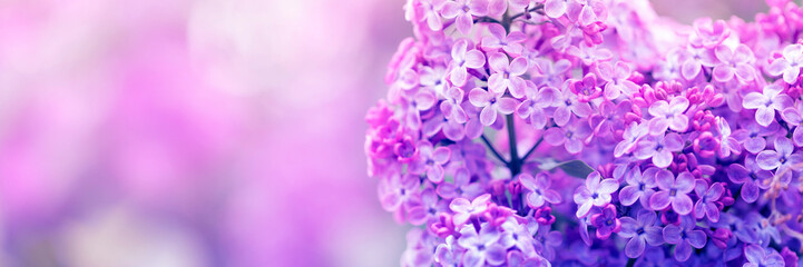Purple lilac flowers in spring blossom