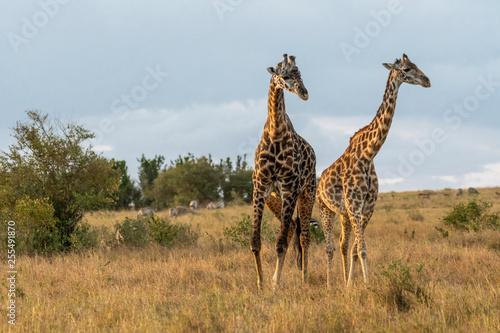 Photo  Male and female giraffe mating in Maasai Mara at sunset