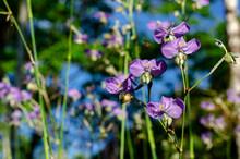 Purple Color Tradescantia Or S...