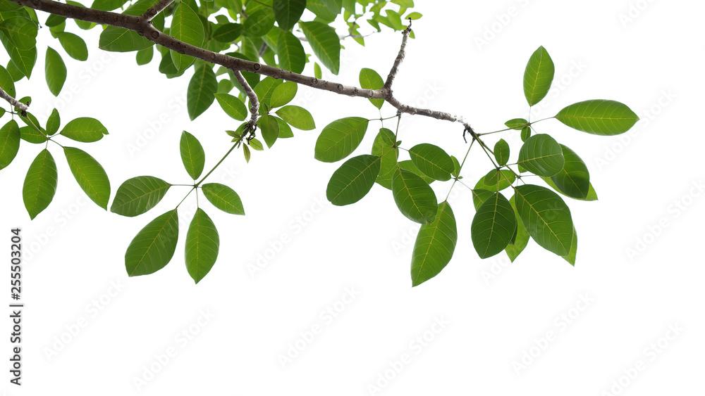Fototapeta green tree branch isolated