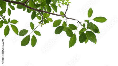 Leinwand Poster green tree branch isolated