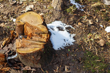 Yellow Tree Stump And Snow, Top View