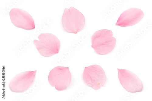 Ingelijste posters Kersenbloesem 桜 花びら 春 白背景