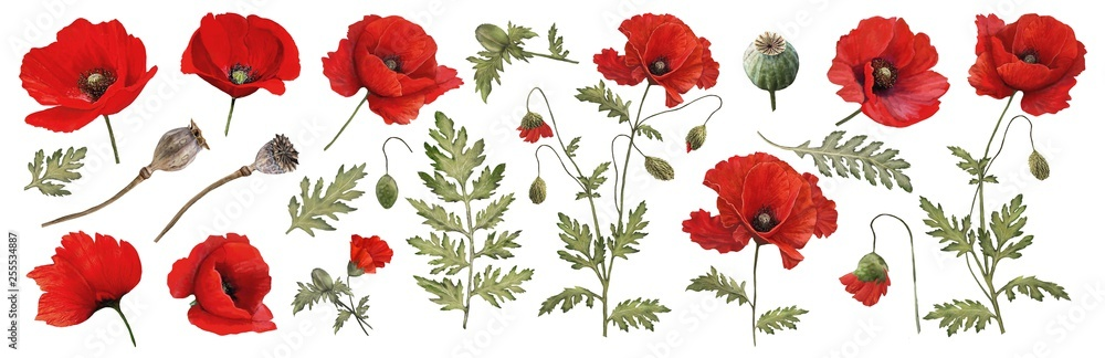 Red poppy. Watercolor. Botanical collection of garden and wild plants. Set: leaves, flowers, twigs,poppies, buds.