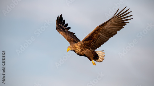 Photo Stands Eagle Adult white-tailed eagle, Haliaeetus albicilla, flying against sky with wings spread open looking down. Wild bird of prey in the air at sunset.