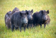 Numerous Herd Of Wild Animals In Nature. Wild Boars, Sus Scrofa, On A Meadow Wet From Dew. Nature Early In The Morning With Moisture Covered Grass. Mammals In Wilderness.