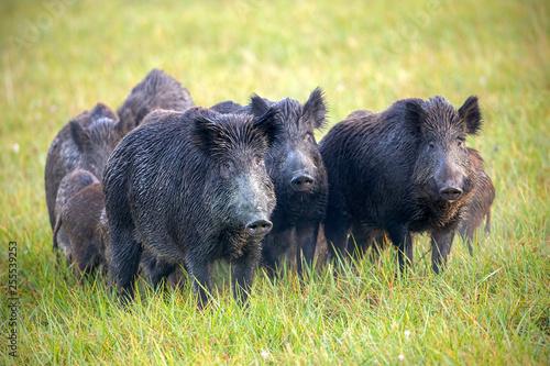 Obraz na płótnie Numerous herd of wild animals in nature