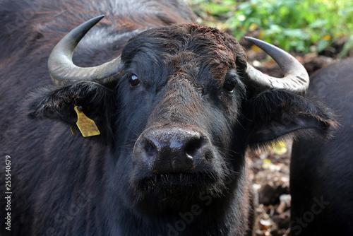 Foto auf AluDibond Buffel Wasserbüffel