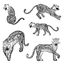 Set Of Snarling Leopards In Different Poses. Vector Illustration Isolated On White Background.