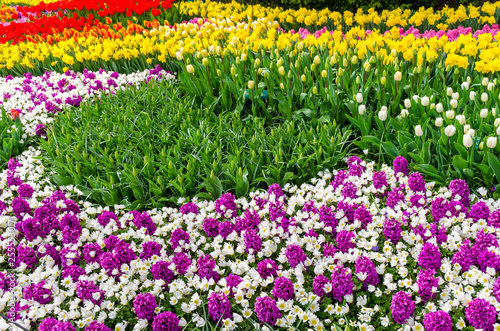 Purple hyacinths, white tulips and yellow narcissus flowers in the garden of Keukenhof, Netherlands