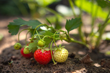 Strawberry Berries Are Ripened...