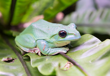 Chinese Flying Frog. The Species Is Common In Myanmar, Laos, Vietnam, South China.Likes Tropical And Subtropical Moist Forests, Rivers, Lake, Swamps, Ponds. It Occurs At An Altitude Of 900-1500 Meters