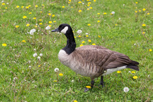 Canada Goose Standing In Lawn ...