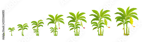 Fototapeta Crop cycle for banana tree. Crop stages bananas palm. Vector Illustration growing plants. Harvest growth biology. Musa acuminata cultivars. obraz