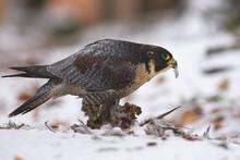 View Of A Peregrine Falcon Sta...