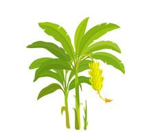Banana Tree. Bananas Palm. Vector Illustration Plants. Harvest Biology. Musa Acuminata.