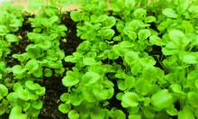 Closeup Of Green Saplings Lobe...