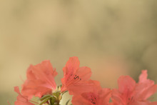 Soft Light Flower Copy Space Background