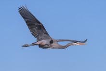 Great Blue Heron In Flight In A Clear Blue Sky