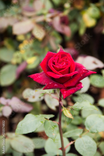 red rose in Regent's park in London England