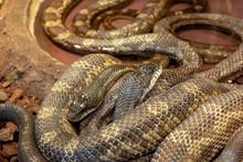 Python African Stone (Python Sebae Natalensis)