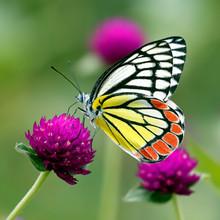 Common Jezebel Butterfly Or De...