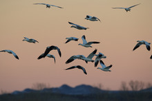 Snow Geese Bosque Del Apache, New Mexico USA