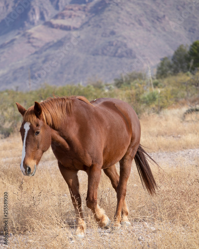 Beautiful draft horse walking amongst grasslands in New Mexico